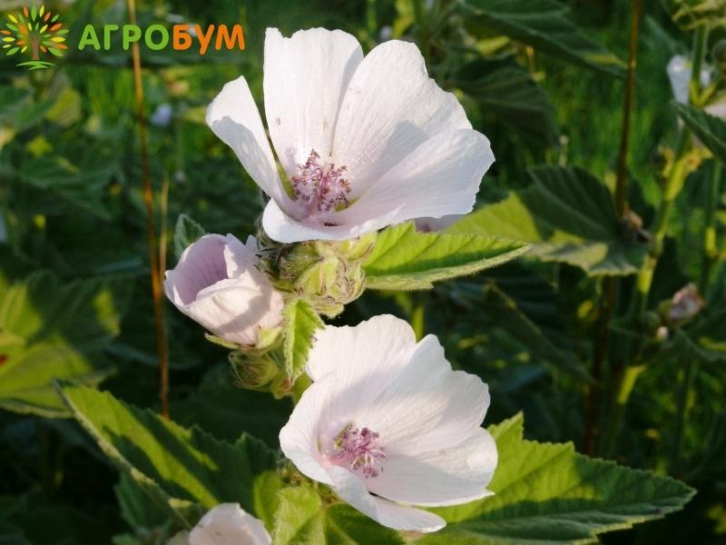 Купить семена Алтей лекарственный Целитель 0,1г по низкой цене, доставка почтой наложенным платежом по России, курьером по Москве - интернет-магазин АгроБум