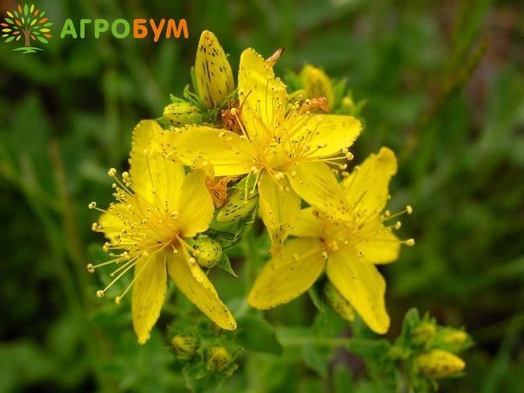 Купить семена Зверобой продырявленный Солнечный 0,1 г по низкой цене, доставка почтой наложенным платежом по России, курьером по Москве - интернет-магазин АгроБум