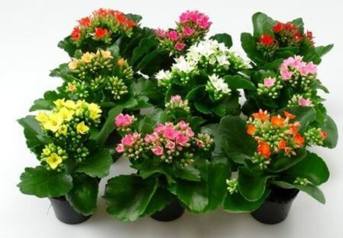 домашние цветущие цветы в горшках фото