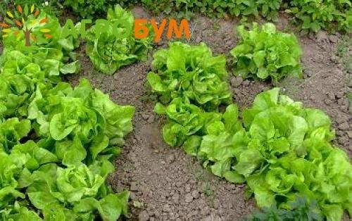 Купить семена Салат Домино 1,0 г зелено-желтый по низкой цене, доставка почтой наложенным платежом по России, курьером по Москве - интернет-магазин АгроБум