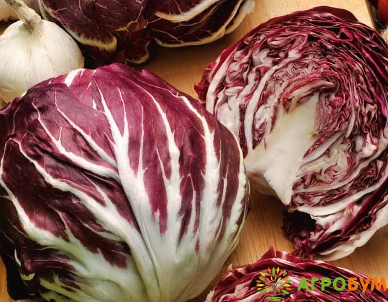 Купить семена Цикорный салат Палла Росса 0,1 г по низкой цене, доставка почтой наложенным платежом по России, курьером по Москве - интернет-магазин АгроБум