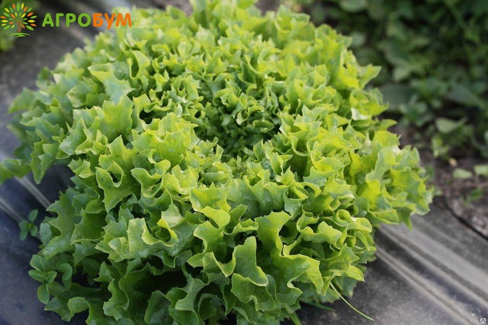 Купить семена Салат Ералаш 1,0 г листовой,зеленый по низкой цене, доставка почтой наложенным платежом по России, курьером по Москве - интернет-магазин АгроБум