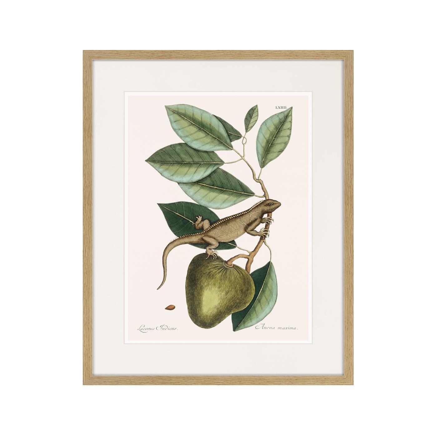 Guana (Lacertus Indicus), 1742г.