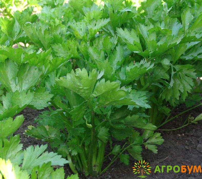 Растение содержит ценнейшие аминокислоты аспарагин, тирозин, каротин, никотиновая кислота, микроэлементы, эфирные масла. Рекомендован для употребления в свежем виде, для консервирования и в качестве специи в различные блюда.