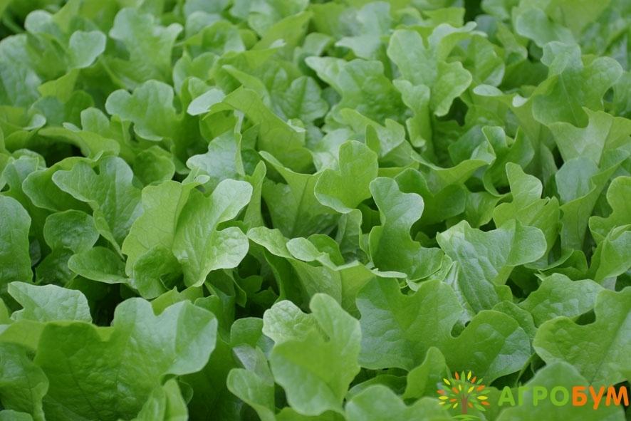 Купить семена Салат Кредо 0,5 г листовой,темно-зеленый по низкой цене, доставка почтой наложенным платежом по России, курьером по Москве - интернет-магазин АгроБум