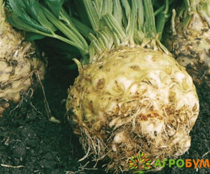 Купить семена Сельдерей Егор корневой 0,3 г по низкой цене, доставка почтой наложенным платежом по России, курьером по Москве - интернет-магазин АгроБум
