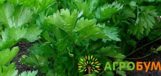 Купить семена Сельдерей Захар, листовой 0,3 г по низкой цене, доставка почтой наложенным платежом по России, курьером по Москве - интернет-магазин АгроБум