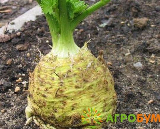 Купить семена Сельдерей Юдинка, корневой 0,3 г по низкой цене, доставка почтой наложенным платежом по России, курьером по Москве - интернет-магазин АгроБум