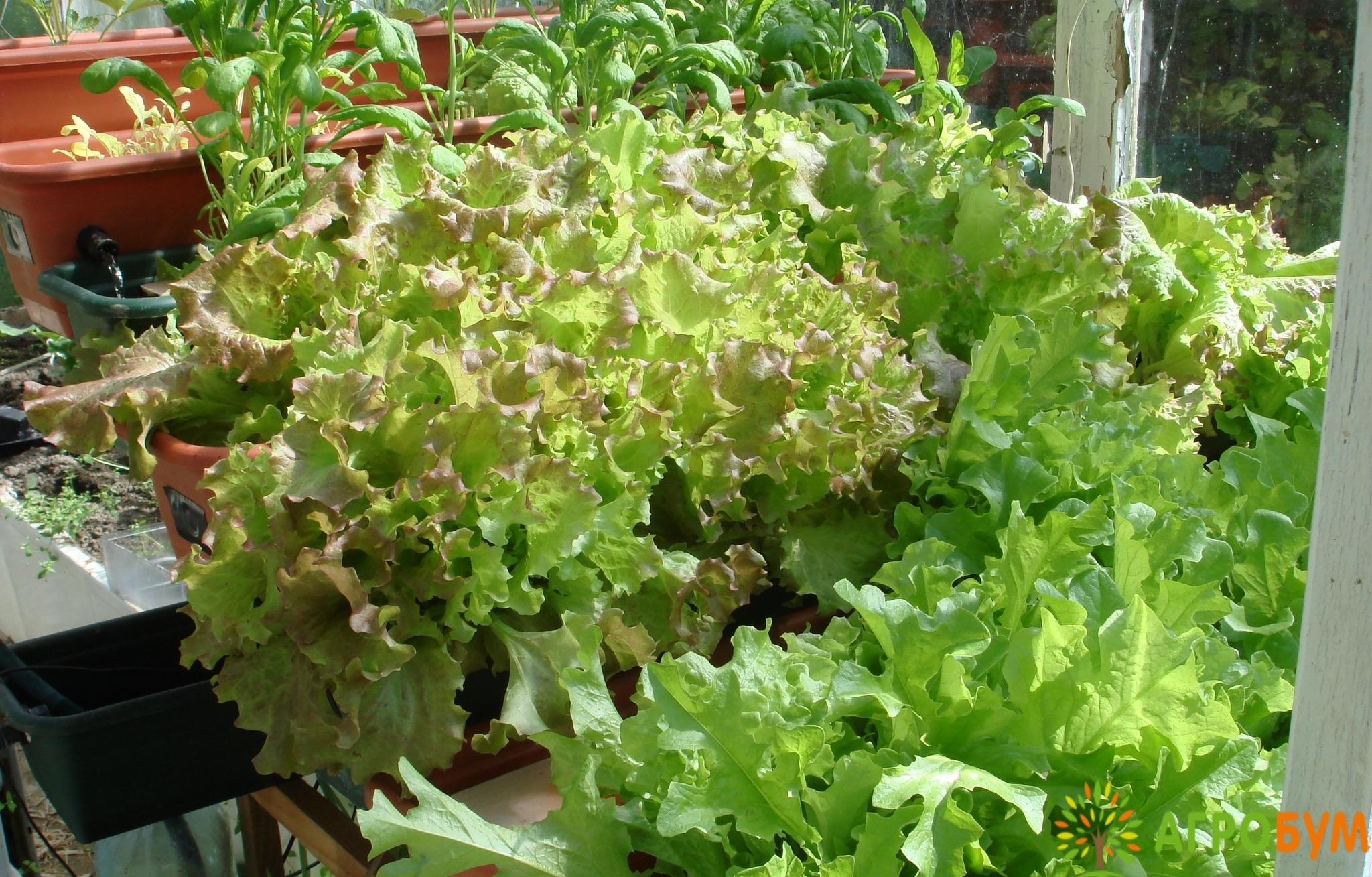 Купить семена Салат Каньон 0,5 г листовой, хрустящ. по низкой цене, доставка почтой наложенным платежом по России, курьером по Москве - интернет-магазин АгроБум