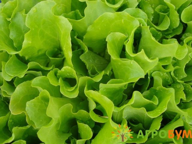 Купить семена Салат Персей 1,0 г по низкой цене, доставка почтой наложенным платежом по России, курьером по Москве - интернет-магазин АгроБум