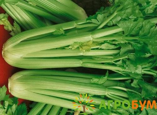 Купить семена Сельдерей Юта, черешковый 0,3 г по низкой цене, доставка почтой наложенным платежом по России, курьером по Москве - интернет-магазин АгроБум