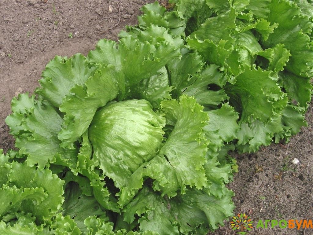 Купить семена Салат Полина 0,5 г по низкой цене, доставка почтой наложенным платежом по России, курьером по Москве - интернет-магазин АгроБум