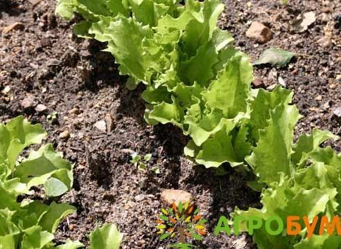 Купить семена Салат Скоморох 1,0 г по низкой цене, доставка почтой наложенным платежом по России, курьером по Москве - интернет-магазин АгроБум