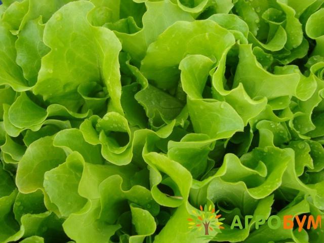 Купить семена Салат Купидон 0,5 г листовой, зеленый по низкой цене, доставка почтой наложенным платежом по России, курьером по Москве - интернет-магазин АгроБум