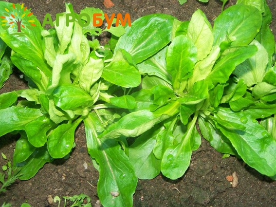 Купить семена Салат Экспромт полевой 1,0 г по низкой цене, доставка почтой наложенным платежом по России, курьером по Москве - интернет-магазин АгроБум