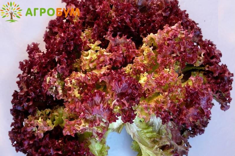 Купить семена Салат Эвридика 1,0 г по низкой цене, доставка почтой наложенным платежом по России, курьером по Москве - интернет-магазин АгроБум