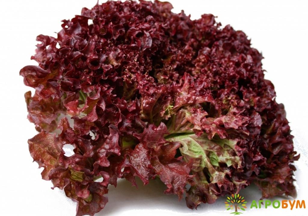 Купить семена Салат Меркурий 1,0 г красный по низкой цене, доставка почтой наложенным платежом по России, курьером по Москве - интернет-магазин АгроБум