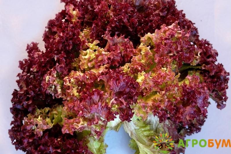 Купить семена Салат мини Вендетта 0,5 г красный,маслянистый по низкой цене, доставка почтой наложенным платежом по России, курьером по Москве - интернет-магазин АгроБум