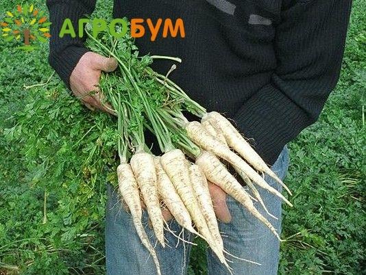 Купить семена Петрушка корневая Игл 0,5 г (Голландия) по низкой цене, доставка почтой наложенным платежом по России, курьером по Москве - интернет-магазин АгроБум