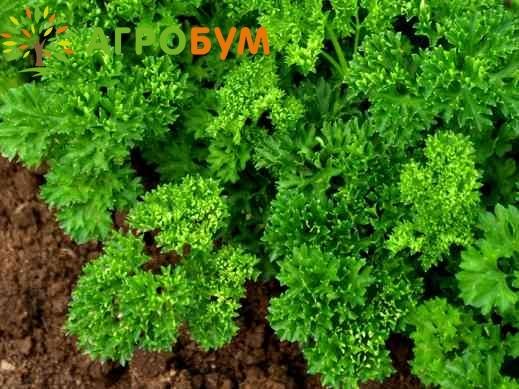 Купить семена Петрушка кудрявая Мооскраузе 2 2,0 г по низкой цене, доставка почтой наложенным платежом по России, курьером по Москве - интернет-магазин АгроБум