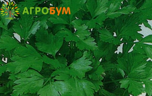 Купить семена Петрушка листовая Бутербродная 2,0 г по низкой цене, доставка почтой наложенным платежом по России, курьером по Москве - интернет-магазин АгроБум