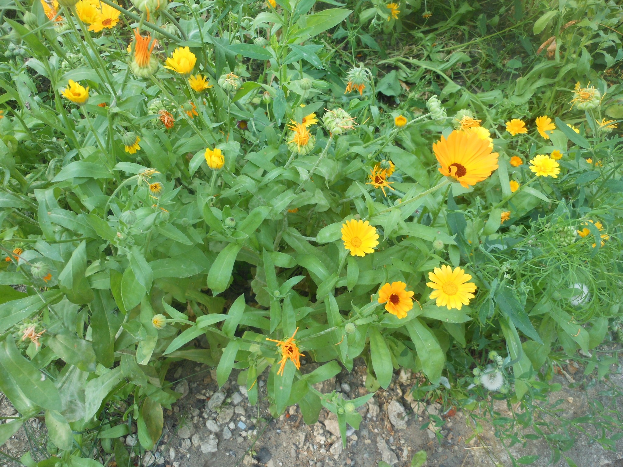 Календула цветок выращивание 62