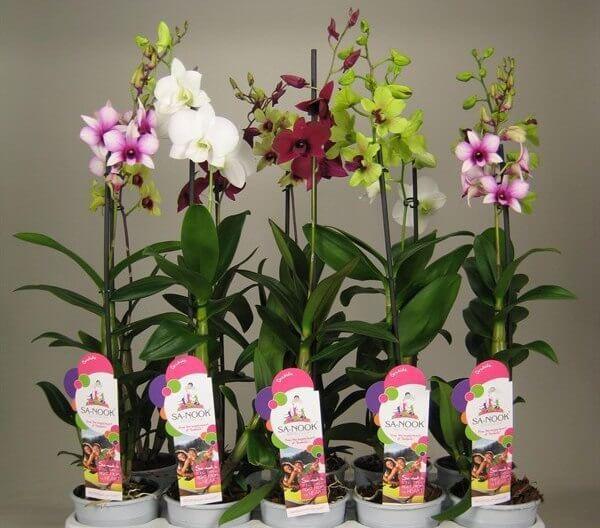 Купить Орхидею Дендробиум-фаленопсис Санук, МИКС, микс в горшке в Москве недорого