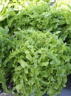 Купить семена Салат Абракадабра 1,0 г зеленый,маслянистый по низкой цене, доставка почтой наложенным платежом по России, курьером по Москве   - интернет-магазин АгроБум