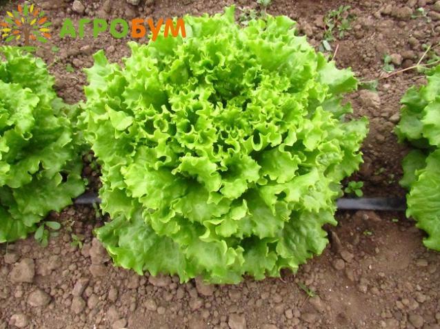 Купить семена Салат Абрек 0,5г. кудрявый по низкой цене, доставка почтой наложенным платежом по России, курьером по Москве   - интернет-магазин АгроБум
