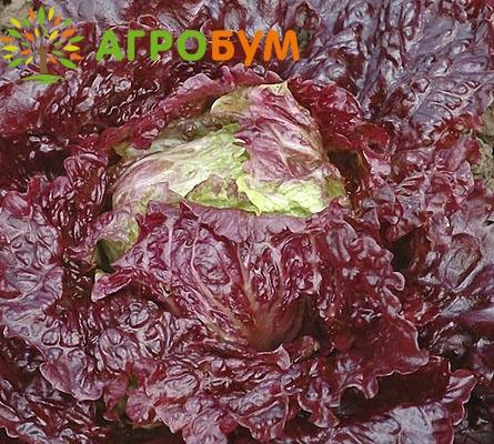 Купить семена Салат Аврора 0,5 г полукочанный по низкой цене, доставка почтой наложенным платежом по России, курьером по Москве   - интернет-магазин АгроБум