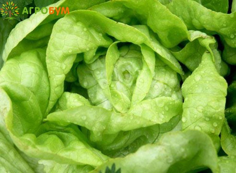 Купить семена Салат Берлинский желтый 1,0г. маслянистый по низкой цене, доставка почтой наложенным платежом по России, курьером по Москве - интернет-магазин АгроБум
