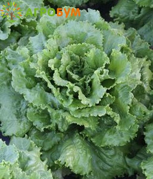 Купить семена Салат Бостон 0,5 г по низкой цене, доставка почтой наложенным платежом по России, курьером по Москве - интернет-магазин АгроБум