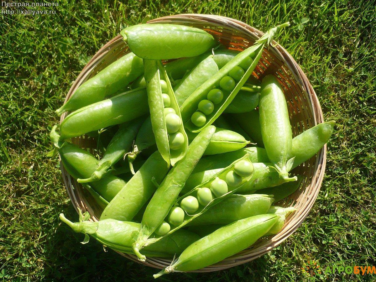 Купить семена Горох Сахарный 2 10 г по низкой цене, доставка почтой наложенным платежом по России, курьером по Москве - интернет-магазин АгроБум