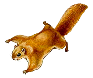белка летяга