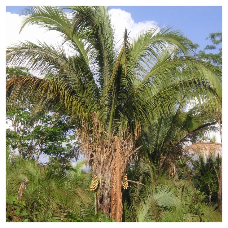 Пальма бабассу Attalea speciosa
