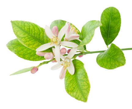 Эфирное масло нероли (Citrus aurantium ssp aurantium)