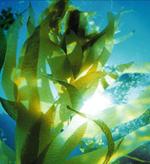 морские водоросли в космецевтике