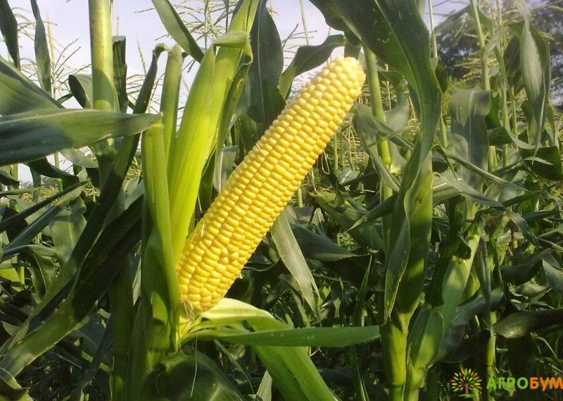Купить семена Кукуруза Заря 5 г по низкой цене, доставка почтой наложенным платежом по России, курьером по Москве - интернет-магазин АгроБум