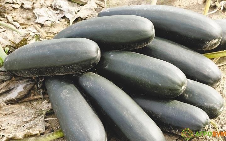 Купить семена Кабачок Дракоша 2,0 г по низкой цене, доставка почтой наложенным платежом по России, курьером по Москве - интернет-магазин АгроБум