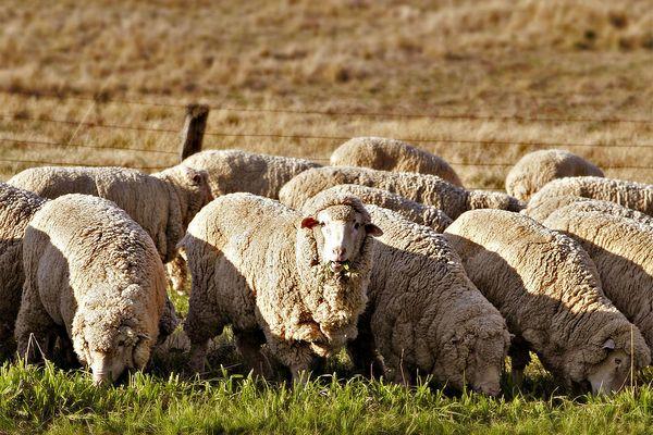 Мериносовые овцы