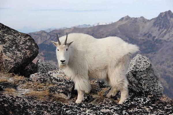 Кашемировая коза