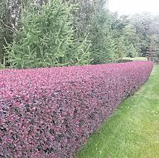 изгородь колючая барбарис