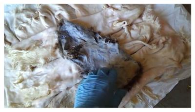 Внешний вид шкурок после пикелевания в муравьиной кислоте