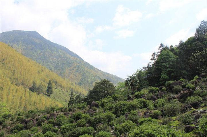 плантация красного чая