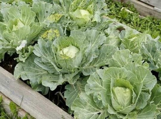 Выращивание белокочанной капусты рассадным способом