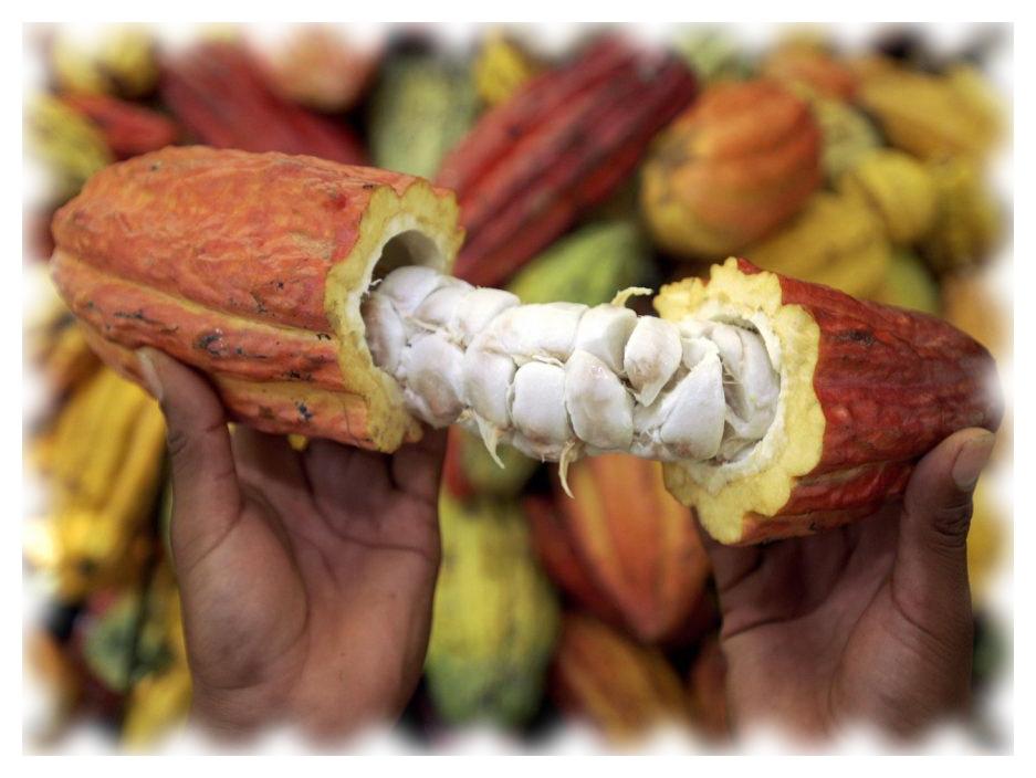 Какао плод, вид сердцевины