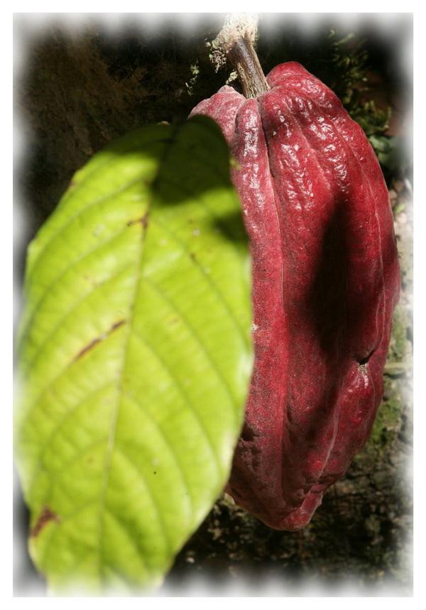Внешний вид какао Criollo
