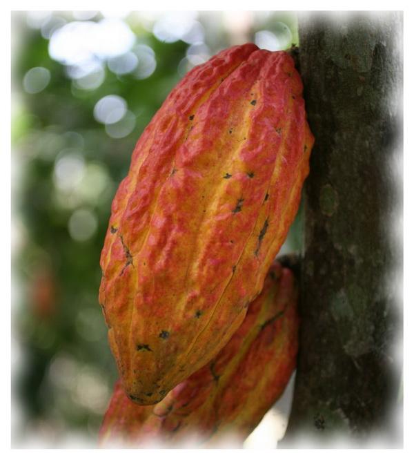 Внешний вид какао Trinitario