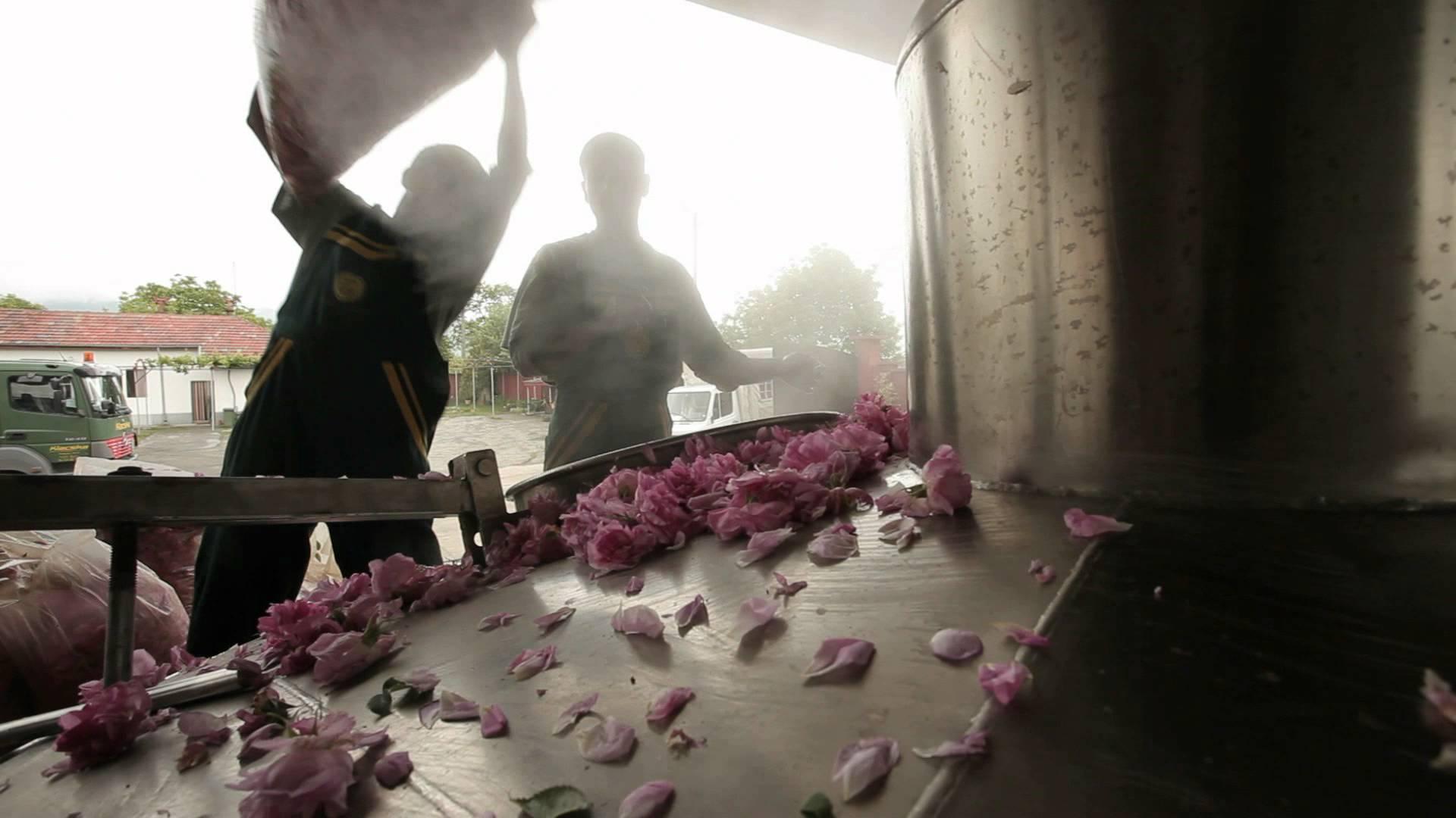 Производство эфирного масла розы