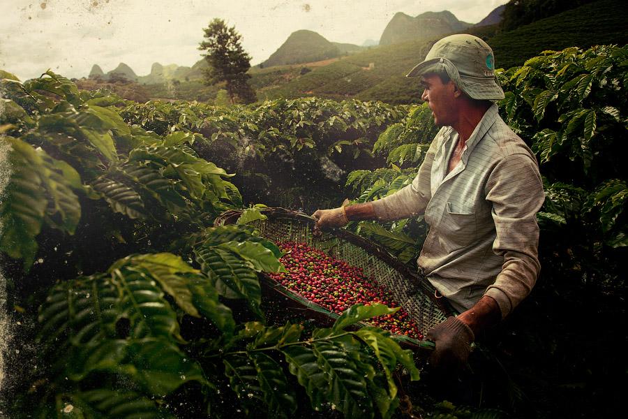 Производство кофе в Никарагуа